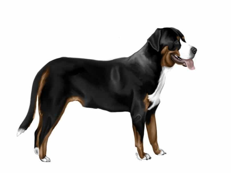 The Greater Swiss Mountain Dog breed