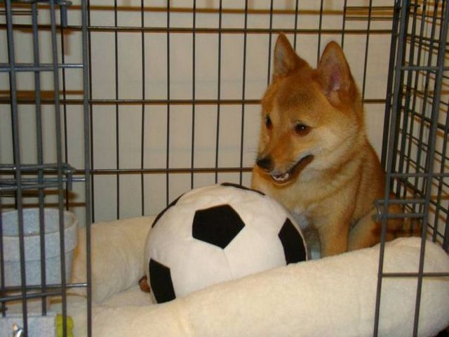Dog Crying in Crate 2