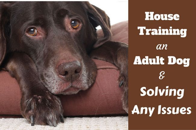 House training an adult dog – solving common issues
