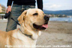 A yellow labrador on leash on a beach