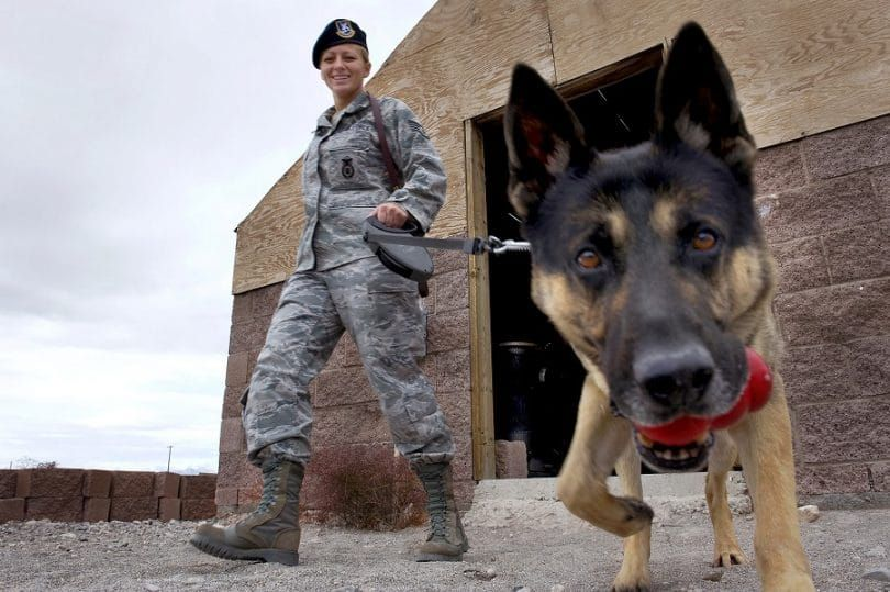 Military dog sniffing