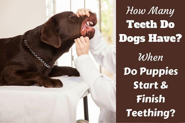 How many teeth do dogs have? When do puppies lose their teeth?