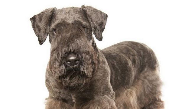 How much does a cesky terrier cost?