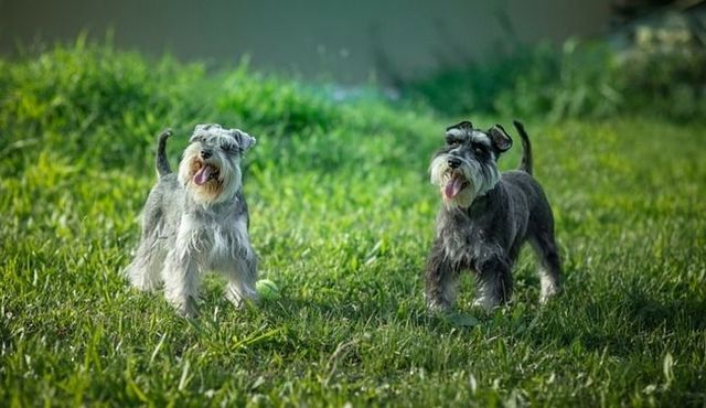 How much does a miniature schnauzer cost?