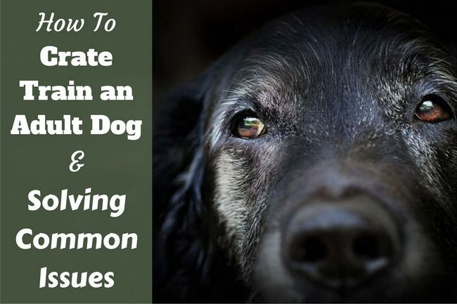 How to crate train an older, adult dog – yours or adopted