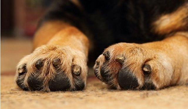 How to cut dogs' nails: guidance on a delicate process