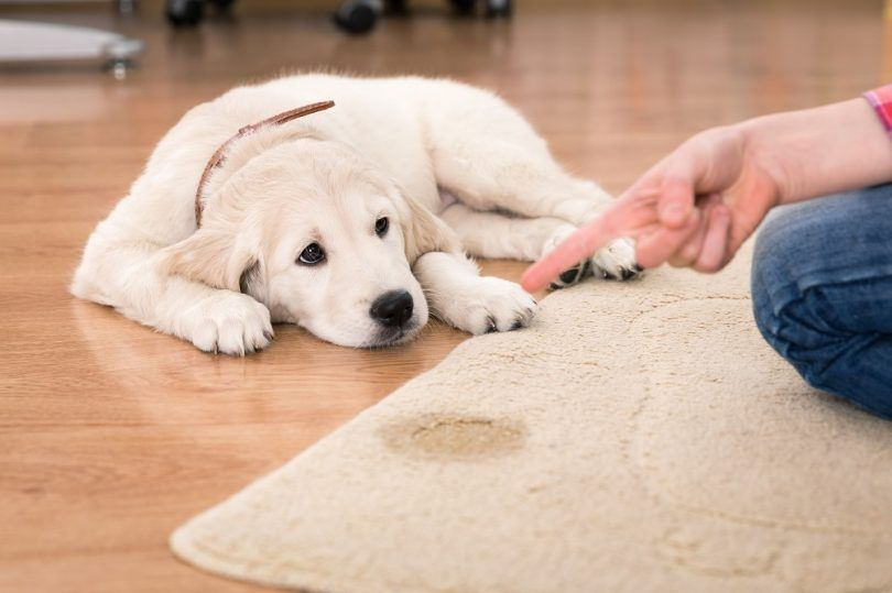 How to get dog urine smell out of carpet: traditional vs modern solutions