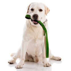 A yellow lab puppy with a green leash in his mouth