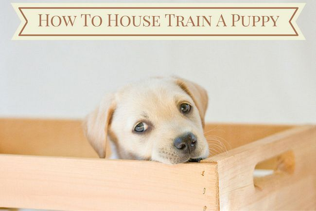 How to house train a puppy – follow these steps