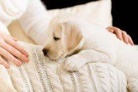 White Labrador puppy lying on white bedspread near the hands of woman