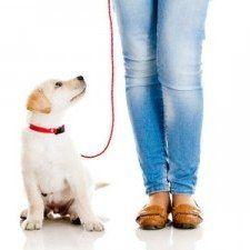 Lab puppy on leash on white background with a pair of legged jeans