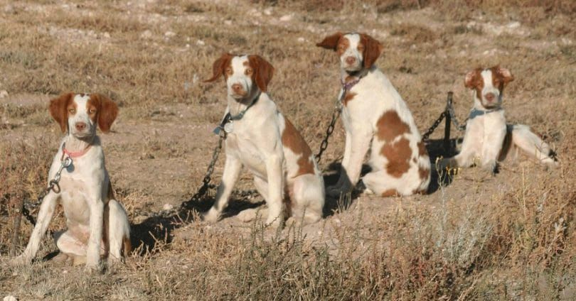 Hunting pups grounded with chain