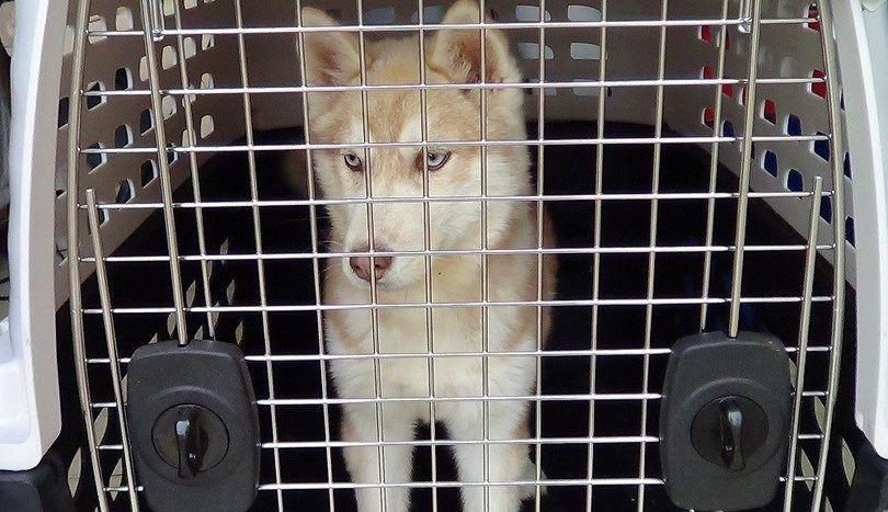 Husky crate training