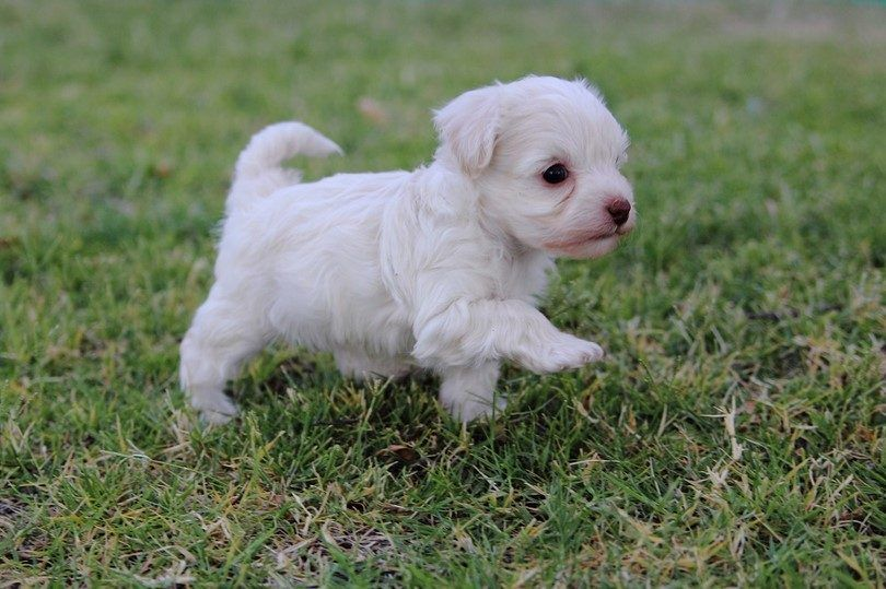 French poodle puppy