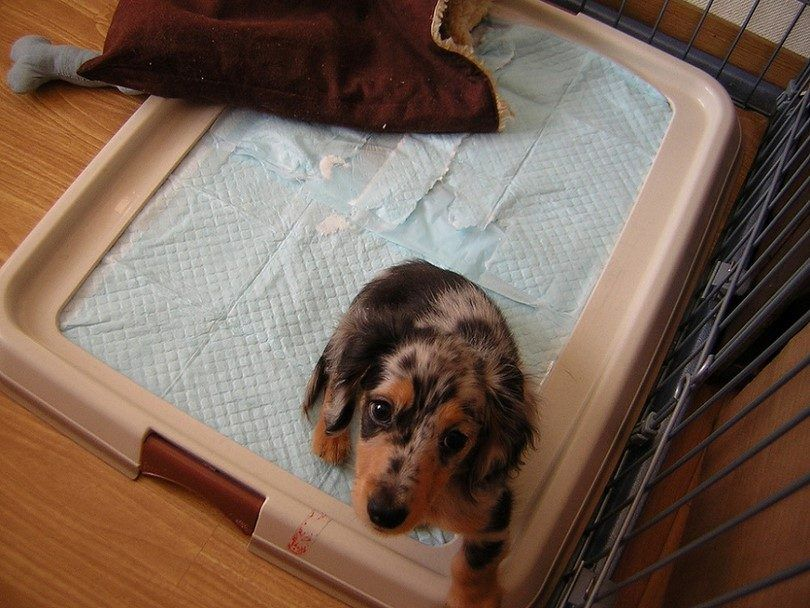 Puppy on pads