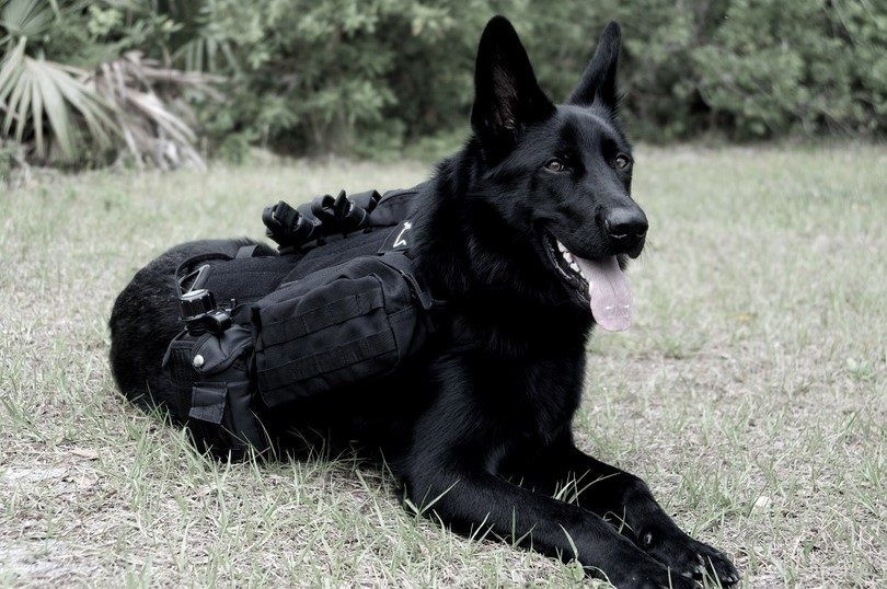 How to put weight on a dog: benefit from a dog weight vest