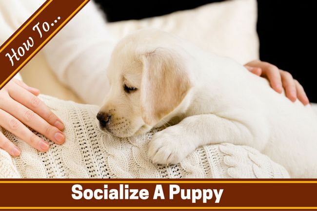 How to socialize a puppy written across a lab puppy on a white blanket on lady`s lap