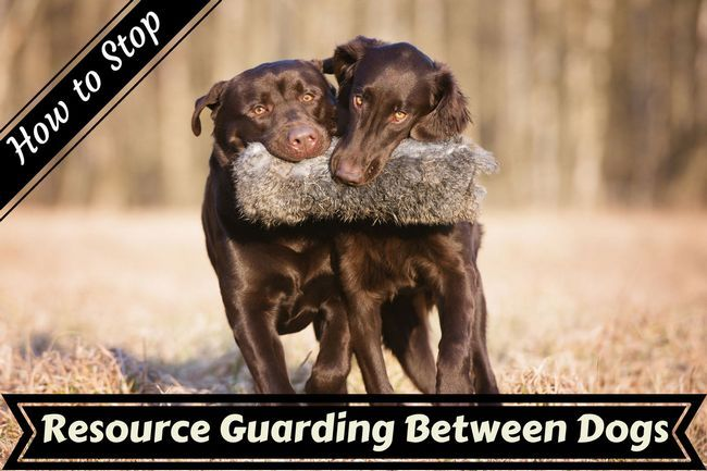 How to stop resource guarding aggression between dogs