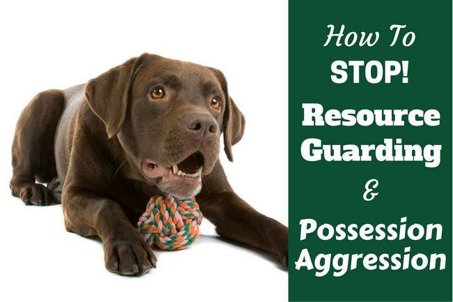 How to stop your labrador resource guarding food and possessions