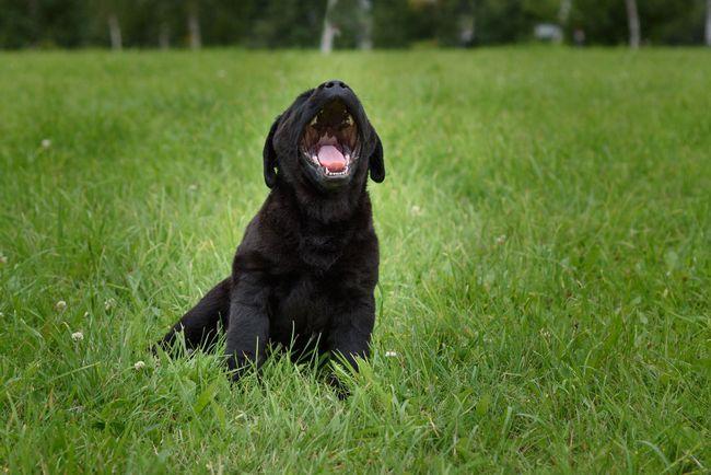 Black labrador puppy sitting on grass barking to camera