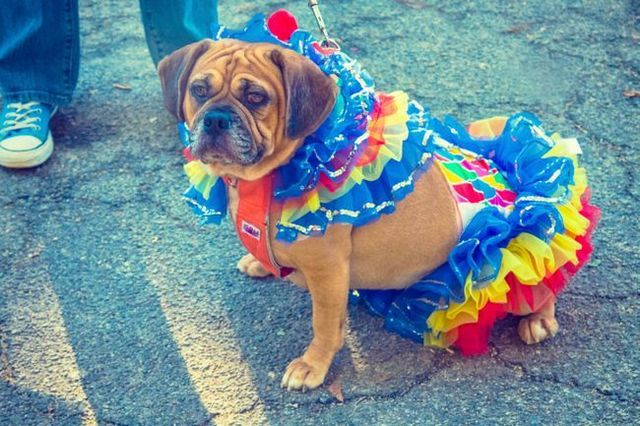 How to train your dog to wear a costume