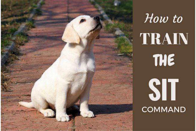 How to train your lab puppy to sit