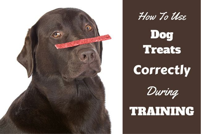 How to use dog treats for training written by a chocolate lab with one blanced on their nose