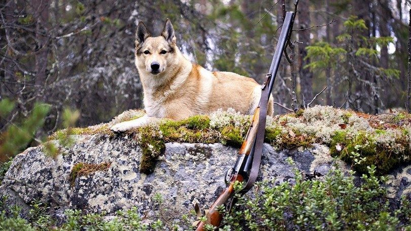 Hunting dog training: prepare buster for intense outdoor activity