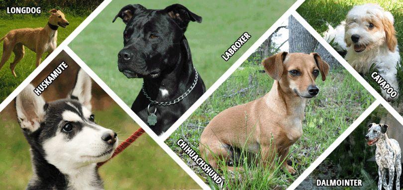 Hybrid dog breeds: distinctive features, advantages & disadvantages