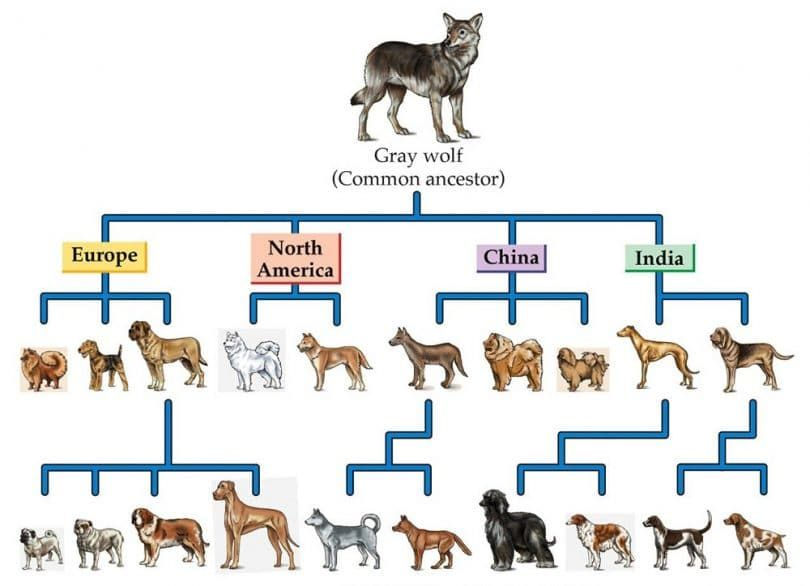Ancestor and new hybrid dogs