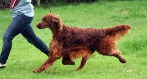 Irish Setter Poisoned at Crufts Dog Show