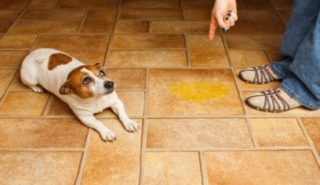 Is your trained dog peeing in house? There may be a reason
