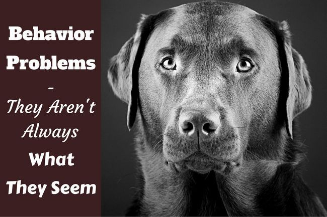 Labrador behavior problems – what are they really?