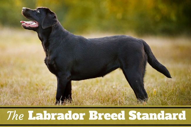 Labrador breed standard – what makes a lab a lab?