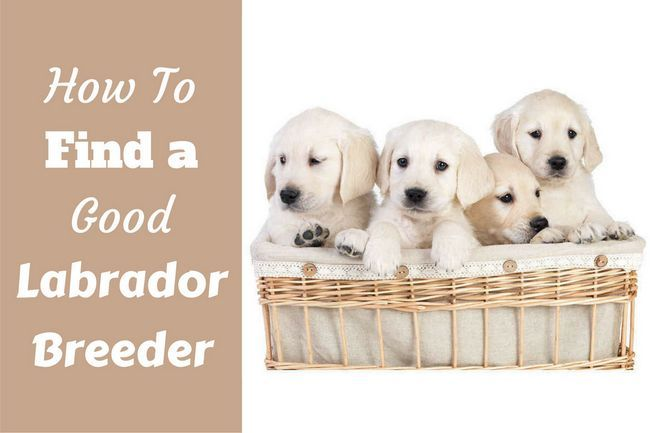 How to find a good labrador breeder written beside a basket full of lab puppies