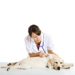 A vet holding a stethoscope listening to a Yellow Labradors heart