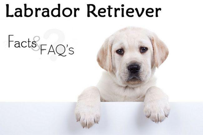 Labrador retriever facts and faqs