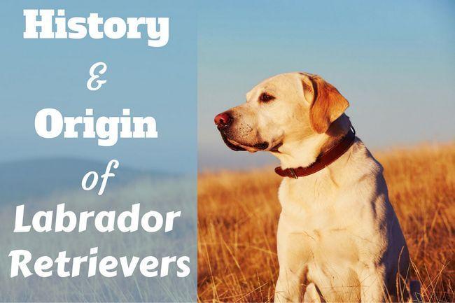 Labrador retriever history: origins and landmark moments