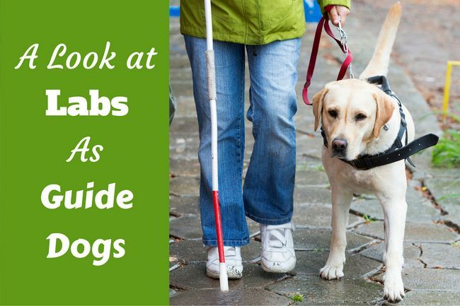 Labradors as guide dogs: an overview & how you can help