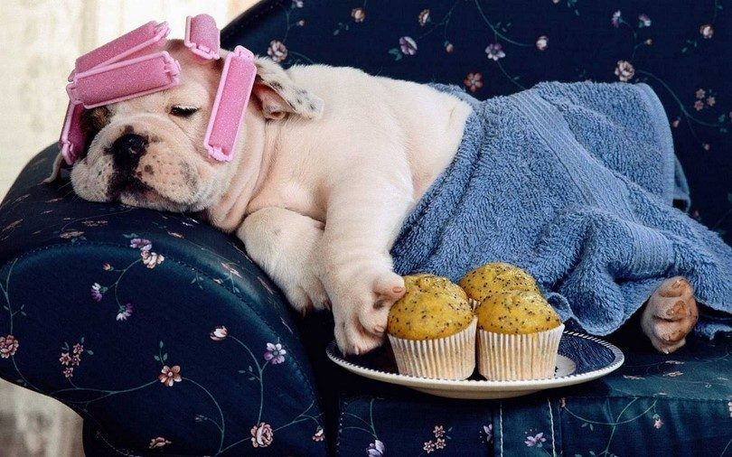 Lazy dog breeds: top 10 of the cutest couch potatoes