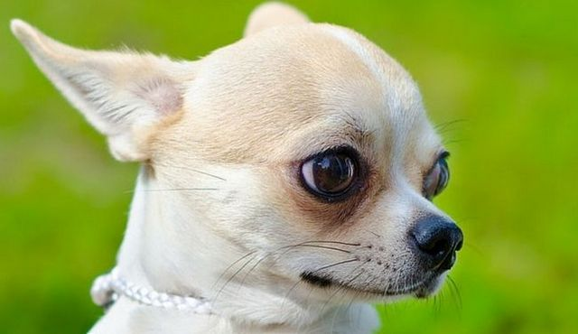Little dog, big love: a look at the apple head chihuahua