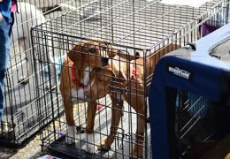 Two brown dogs in a kennel.
