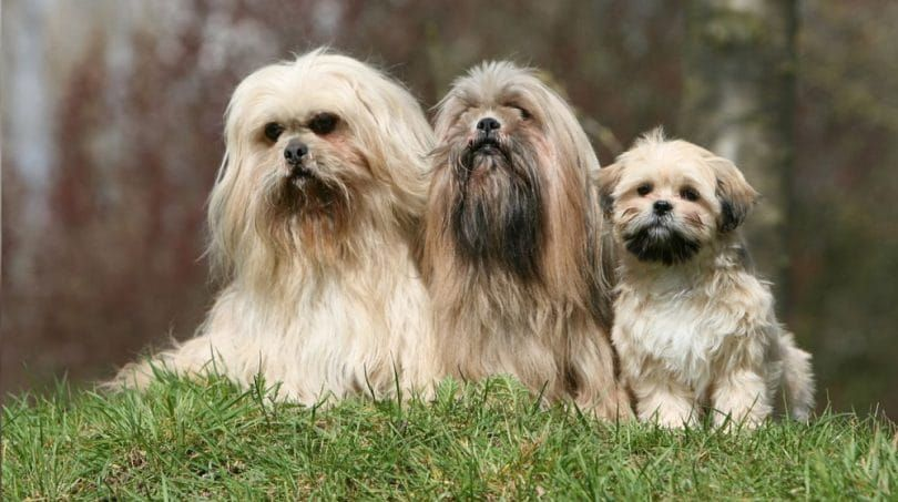 The Lhasa Apso