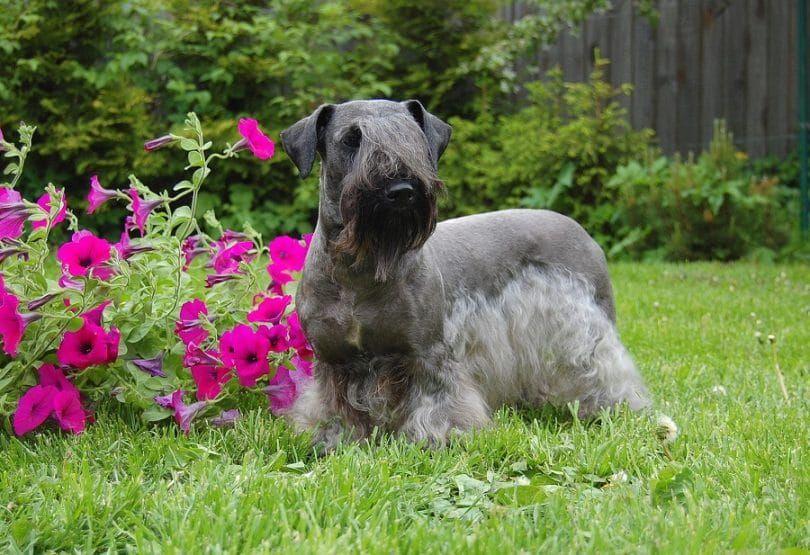 The Cesky Terrier