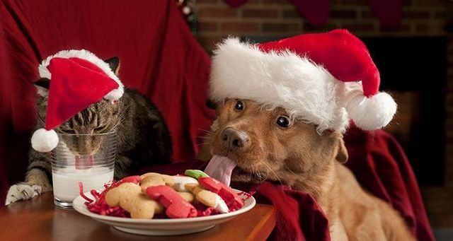 Dog and a cat eating Christmas treats