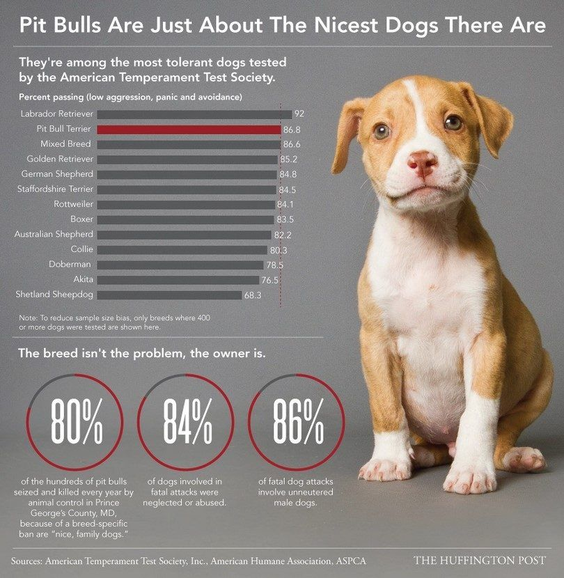 Pitbulls are nice infographic