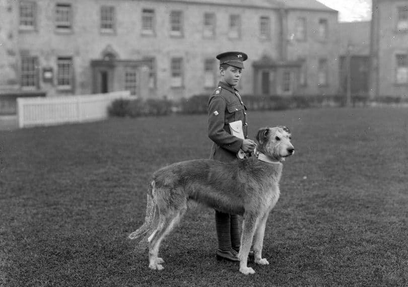 Irish Terrier in military service