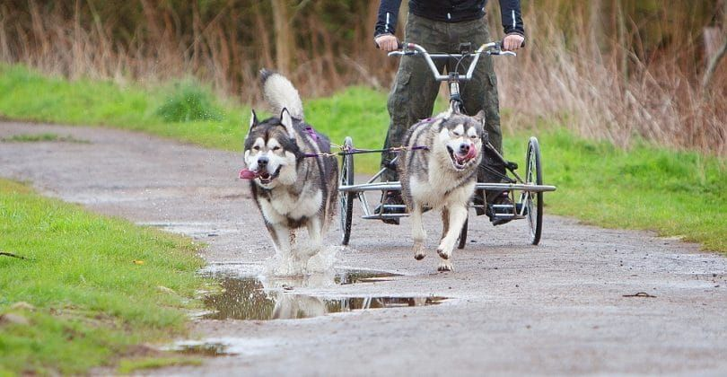 Alaskan Malamutes training