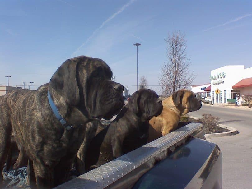 Mastiffs guarding