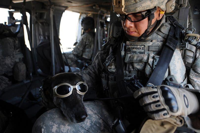 Greyhound in military service